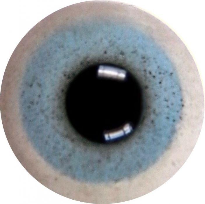 Goose (Domestic) Eye
